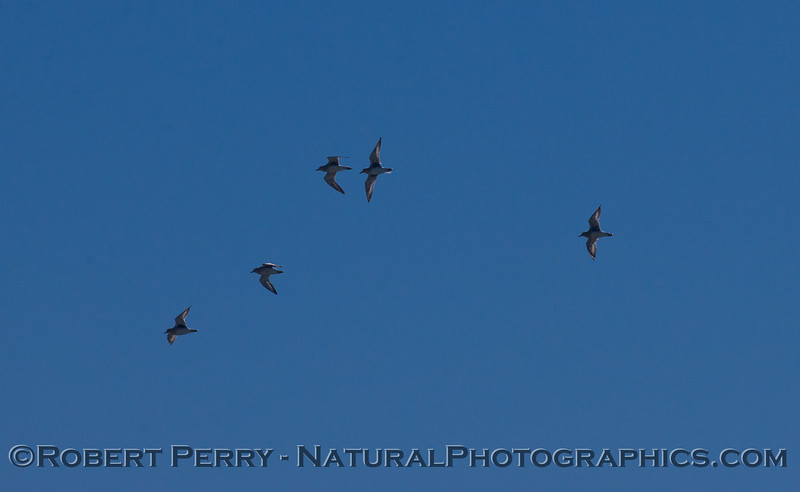 Calidris alba in flight 2011 10-13 Zuma - 169