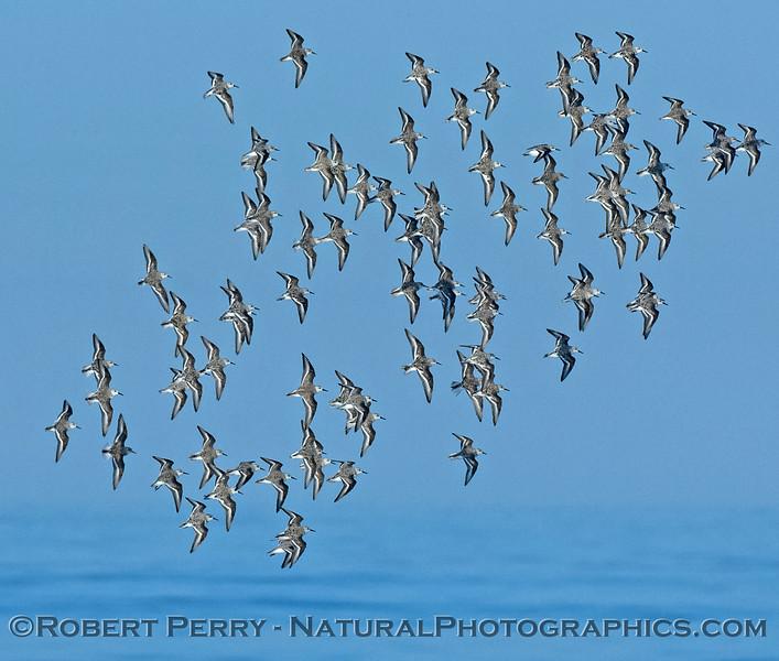 Calidris alba big flock in flight 2008 04-17 Zuma-- 001