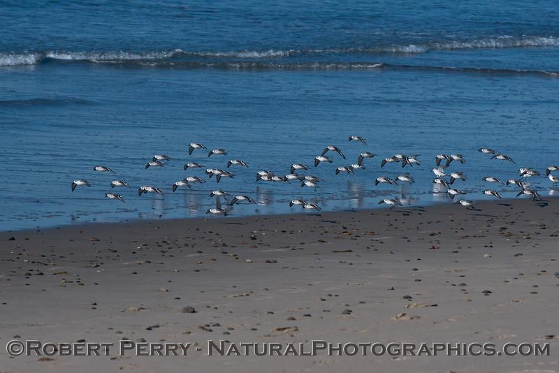 Calidris alba flock on wet sand 2014 02-20 Zuma--003
