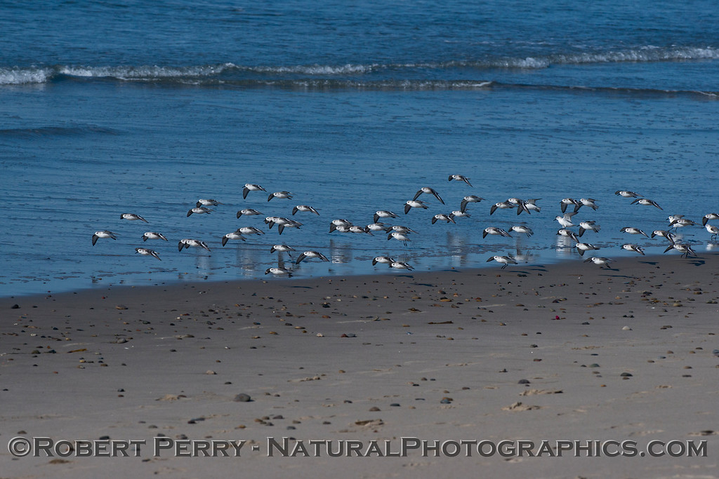 Calidris alba flock on wet sand 2014 02-20 Zuma--003