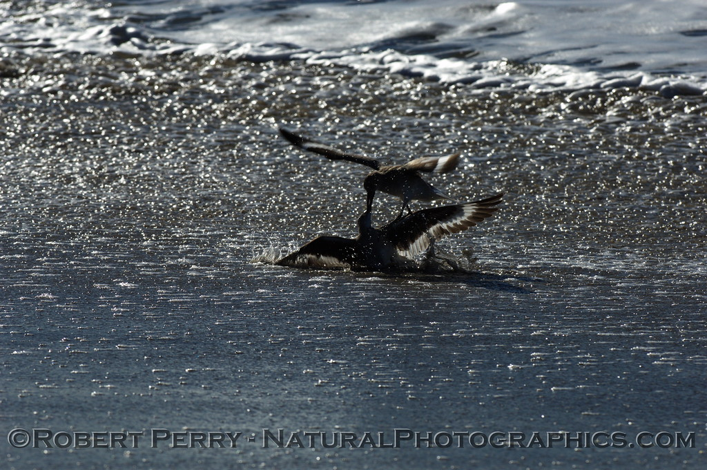 Willets fighting?  mating?