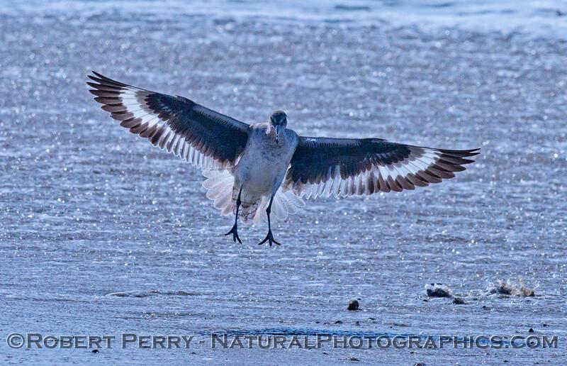 1-Tringa semipalmata landing on sand 2014 03-20-Zuma-004