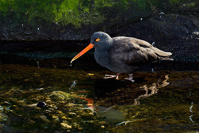 Black Oystercatcher ( Haematopus bachmani ), Oregon Coast Aquarium, Newport, Oregon.  Чёрный кулик-сорока