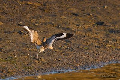 Willet (Catoptrophus semipalmatus).  The Willet is a large shorebird in the sandpiper family.  Перепончатопалый улит