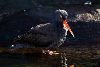 Black Oystercatcher ( Haematopus bachmani ), Oregon Coast Aquarium, Newport, Oregon.  Чёрный кулик-сорока