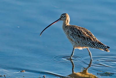 Long-billed Curlew (Numenius americanus). The Long-billed Curlew is a large North American shorebird of the family Scolopacidae. Американский кроншнеп