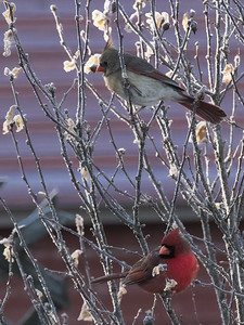 Pair of Northern Cardinals (Cardinalis cardinalis