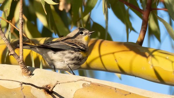 Yellow-rumped Warbler   (Setophaga coronata); Audobon Group