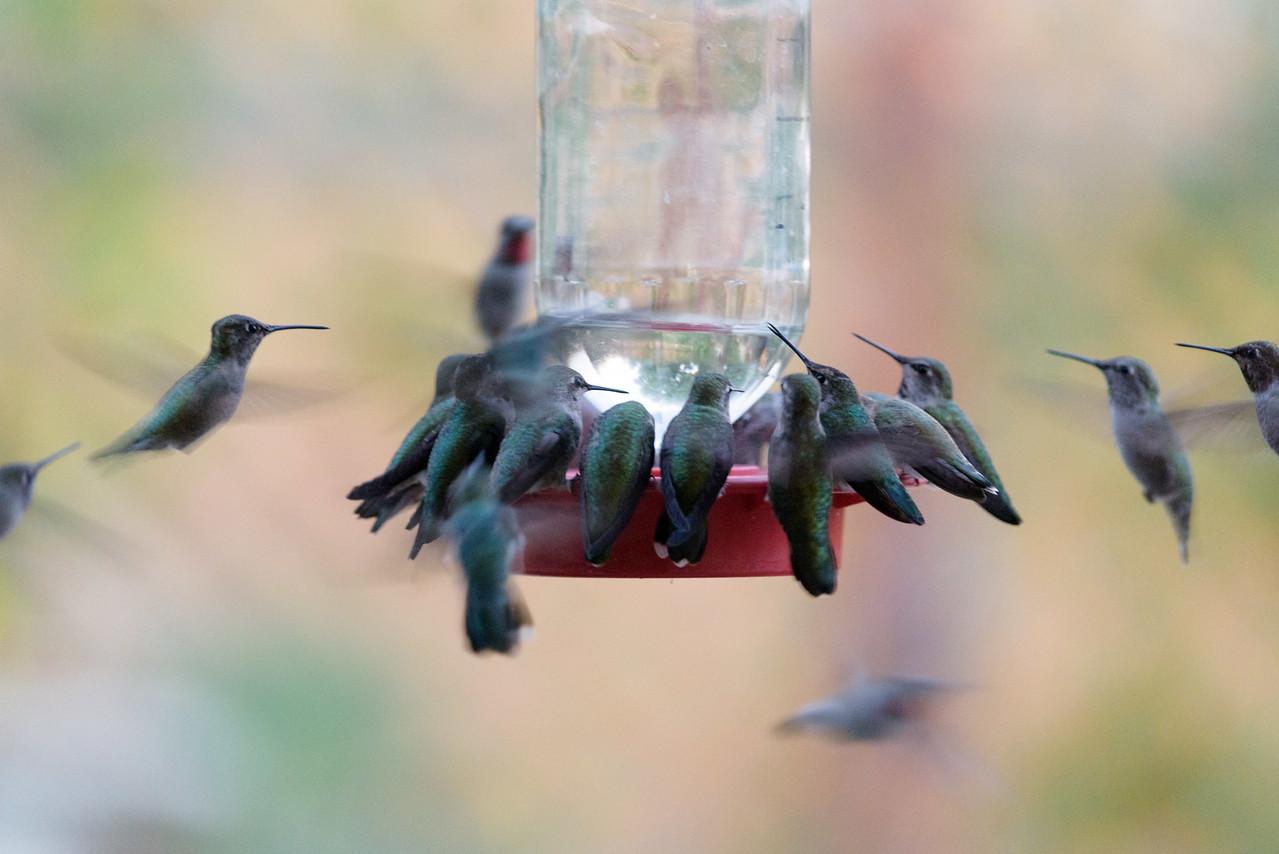 Hummingbird Migration