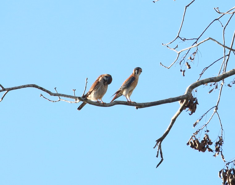 Kestrel Pair