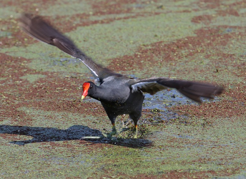 Moorhen/Gallinue