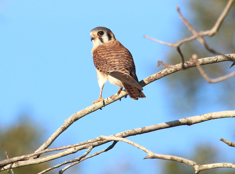 Female Kestrel
