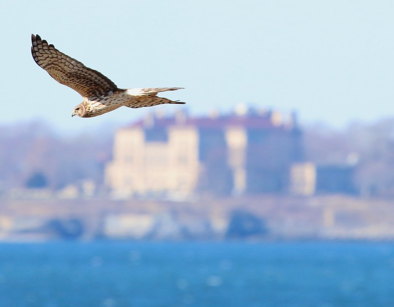 "Northern Harrier (""The Breakers"" in background)"