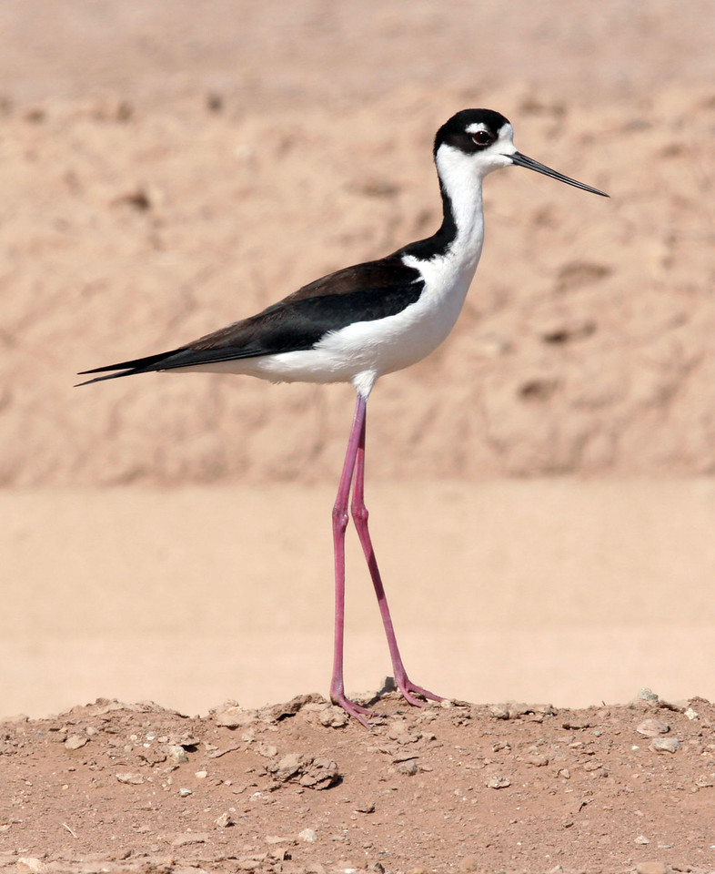 Black-necked Stilt up on a roadside dirt berm.