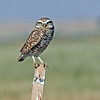 We saw many Burrowing Owl along the roadway, they were perched on fence post, dirt berms and power lines. We were able to drive right up close to them along the fence and take photos.