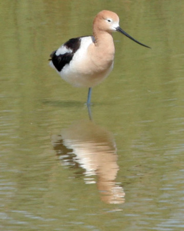 The American Avocet is a year-round residence of the sea. We saw large flocks on shore.