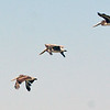 We saw many Brown Pelican at Obsidian Butte.
