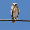 This Burrowing Owl was up high on the power line. Our local guide Hal Cohen stated he has never seen them on power lines.