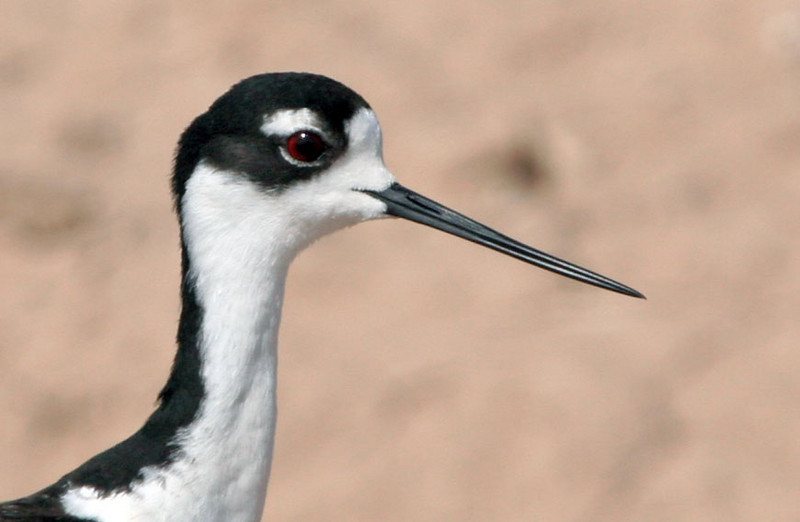 The Black-necked Stilt is a year-round resident.