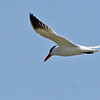 The Caspian Tern is a common nesting residence of the sea.