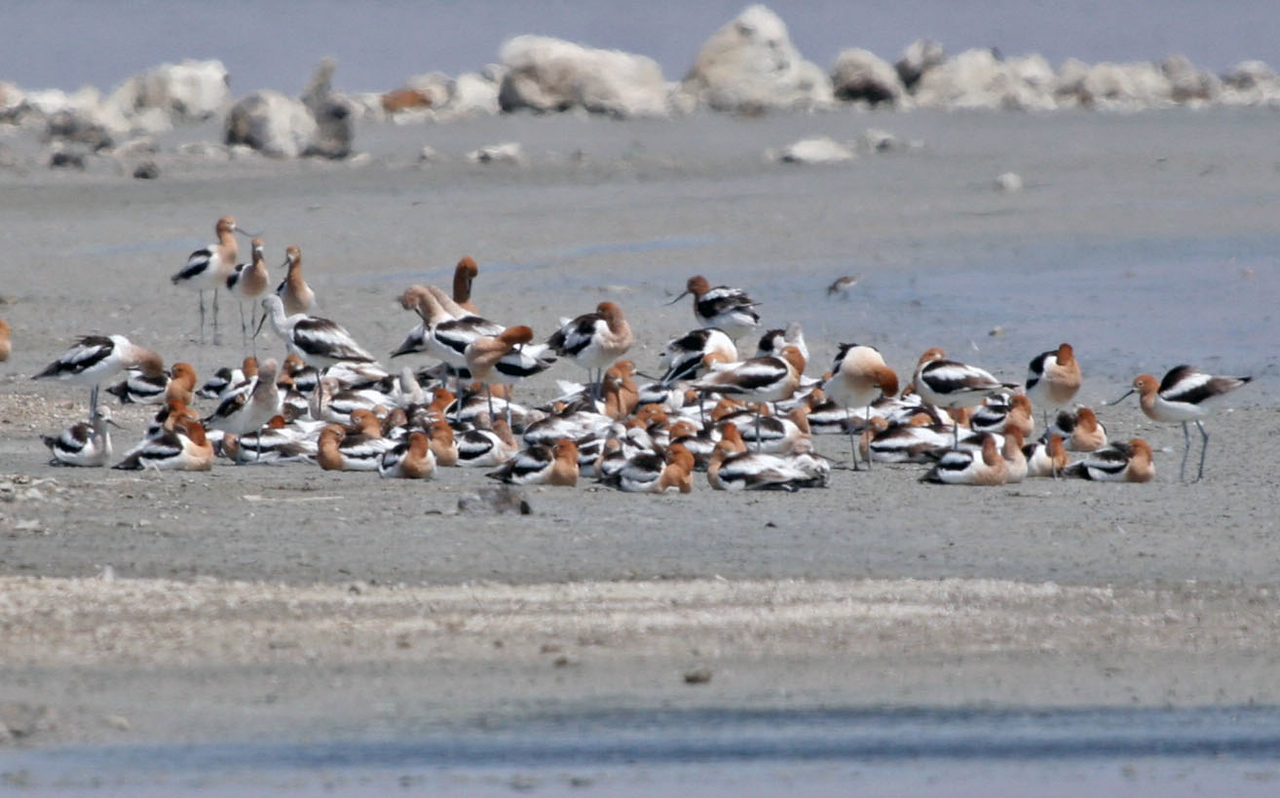 A flock of resting American Avocets.