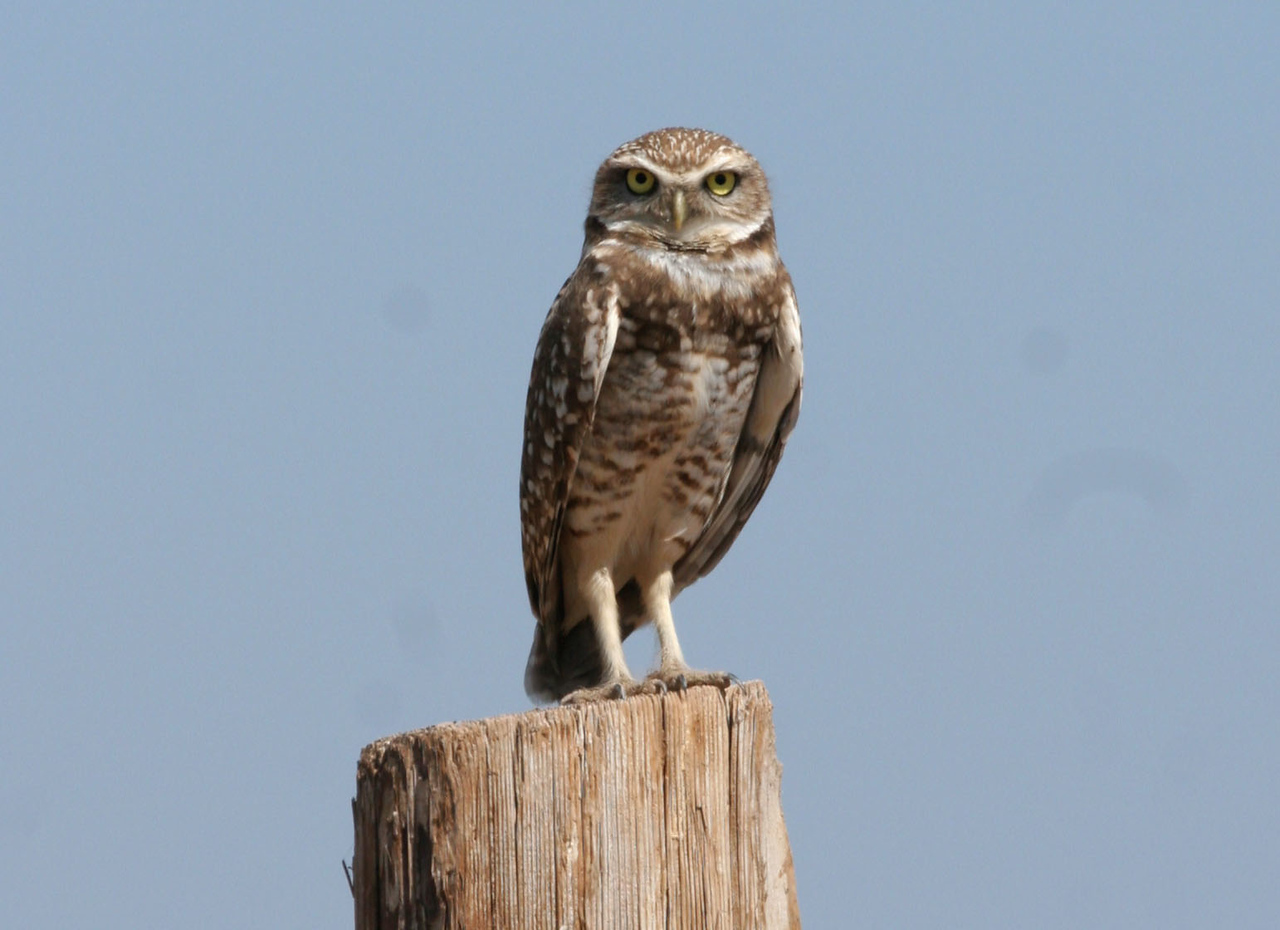 Where there was a perch, there seem to be a Burrowing Owl on it!