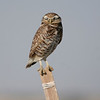 Burrowing Owls are known to be the only owl that perches in the open during daylight.