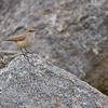 Rock Wren, San Diego Zoo Wild Animal Park (this is a native wild bird), California