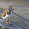Ruddy Turnstone, La Jolla, California