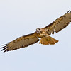 Red-tailed Hawk, Tijuana River Estuary, San Diego, California