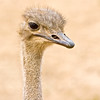 Ostrich, San Diego Zoo Wild Animal Park, California