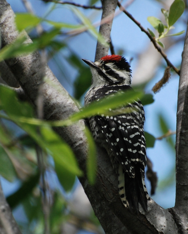 what is this woodpecker?