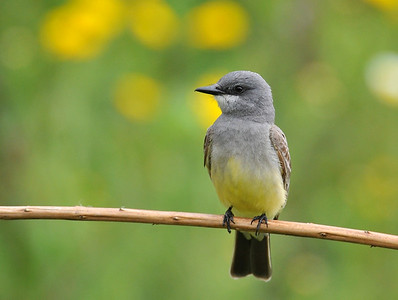 near the hotel, western kingbird