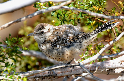 Cactus wren, very big, moves in small flocks with constant chatter