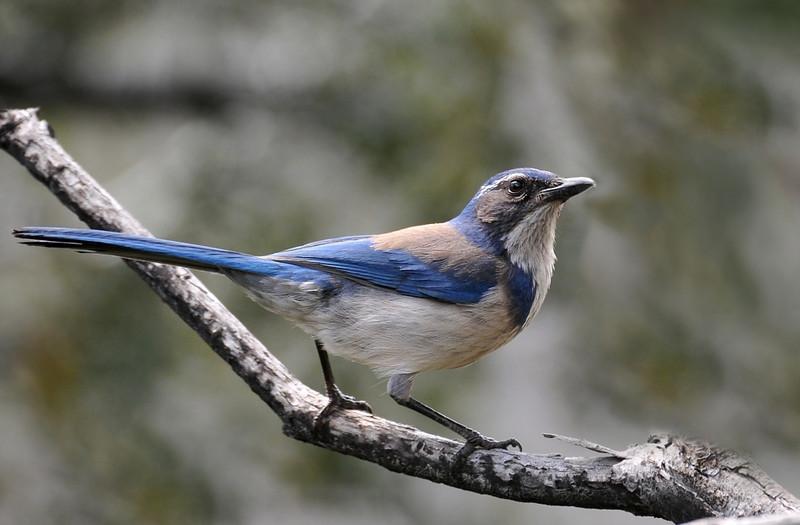 Western Scrub Jay, Cuyamaca Rancho State Park.
