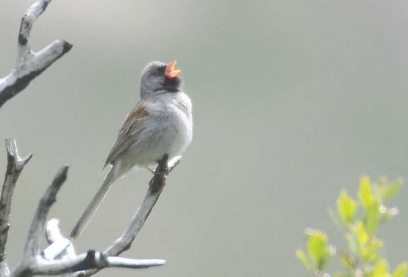 Many thanks - I have never seen juncos sing like this. This bird was singing all the time, but very alert and never let me approach it.