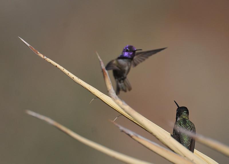 Costa's hummingbird, Anza-Borrego Desert