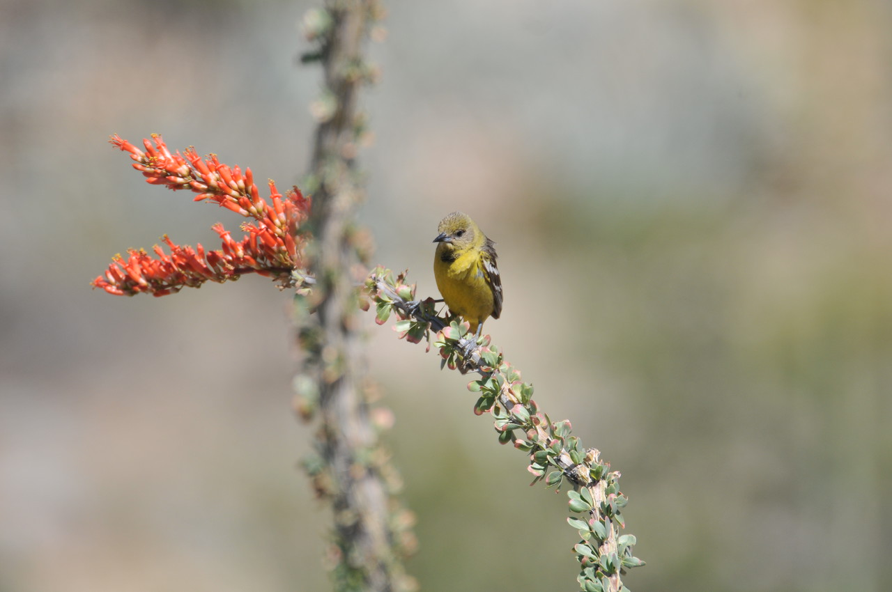probably female hooded oriole - the male was around