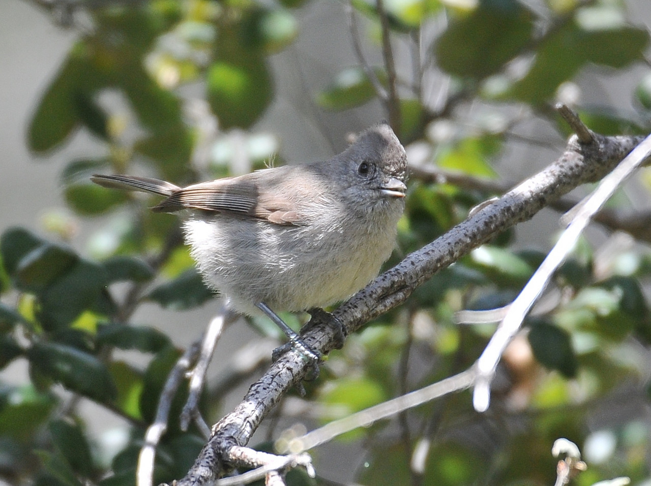 Oak Titmouse, Cuyamaca Rancho State Park