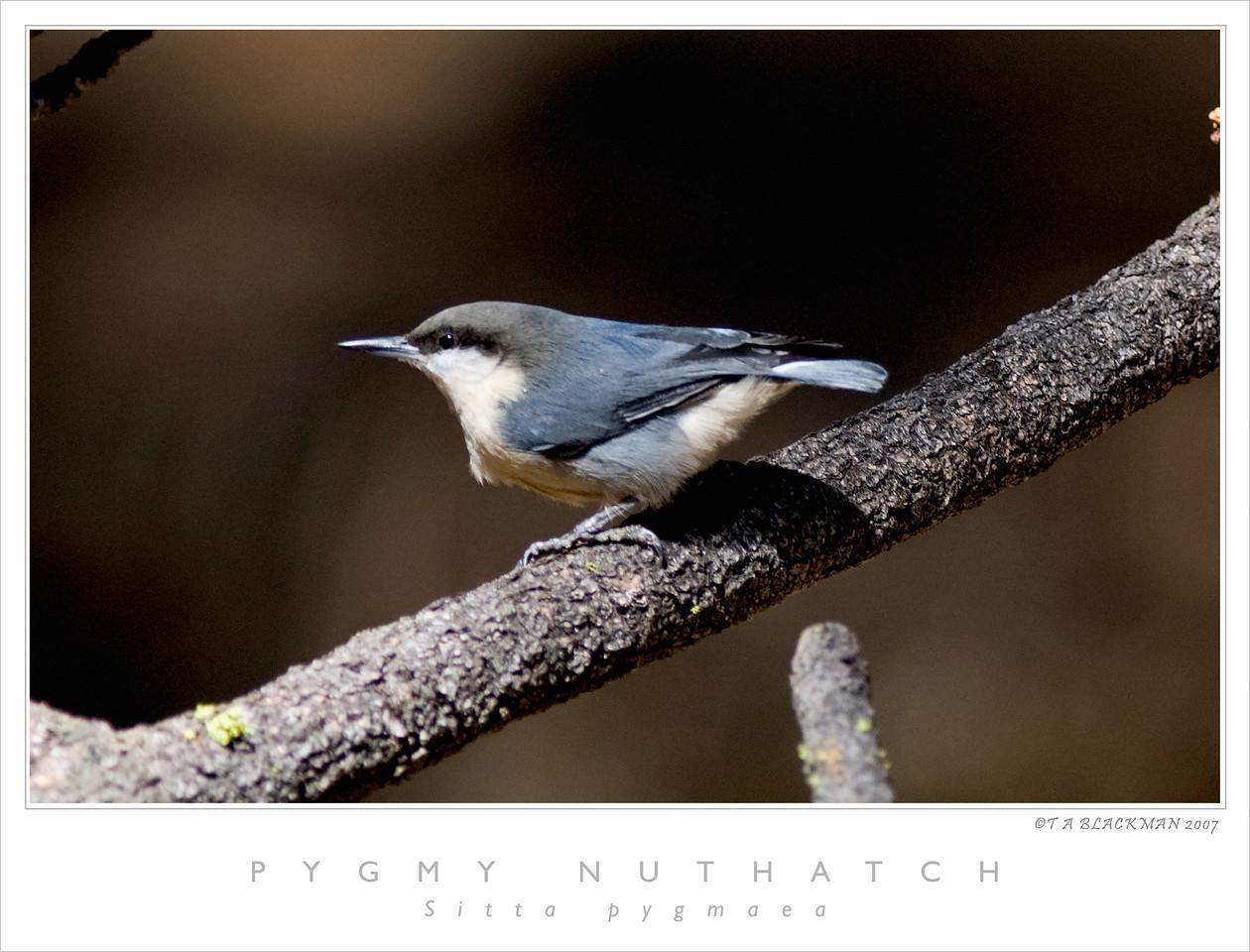 Pygmy Nuthatch