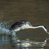 "Western Grebe ""Rush"" Finish Line"