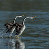 Clark's Grebe Rushing