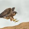 Peregrine Falcon Fledge