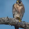 Peregrine Falcon Male