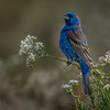 Blue Grosbeak Male