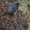 Peregrine Falcon Female