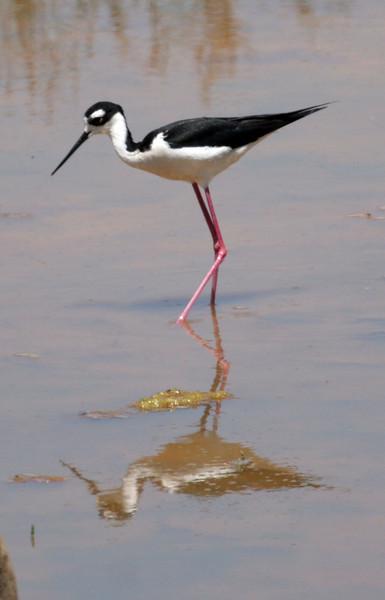 Black-necked Stilt at San Elijo Lagoon.