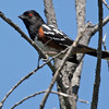 Spotted Towhee at Quail Botanical Garden in Encinitas.