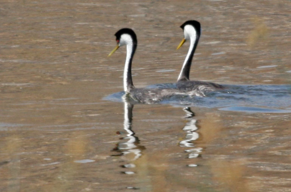 """San Dieguito River Park had many Western Grebe. A few of them were """"displaying"""", in what appeared to be running on the water in pairs."""