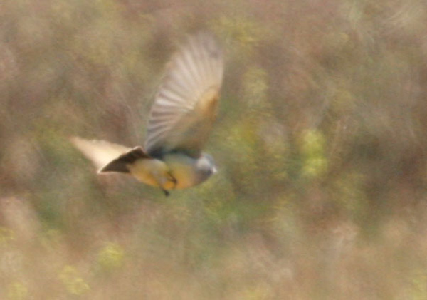 Cassin's Kingbird at San Diequito River Park. Not a very clear photo but definitely a kingbird. The tail band and maybe the white malar is visible.